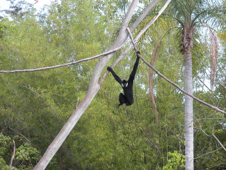 Monkey hanging from a tree. Ape gorilla primate animal photo