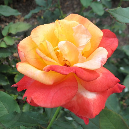 pink and yellow rose in macro photography photo