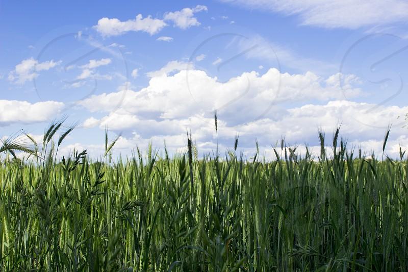 wheatfield photo