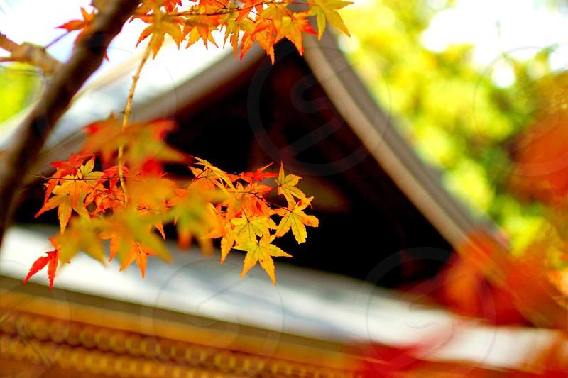 黄金寺屋根 神護寺(じんごじ)は、京都市右京区高雄にある高野山真言宗の寺院。背景の屋根の色と形が丁度、紅葉とのマッチングが良くぼかして浮かび上がるところが見たく撮影した1枚。 photo