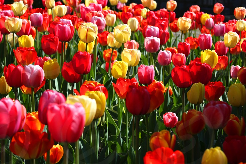 red pink and yellow tulips during daytime photo