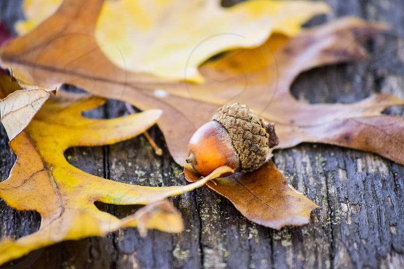 brown acorn on brown dried leaf photo