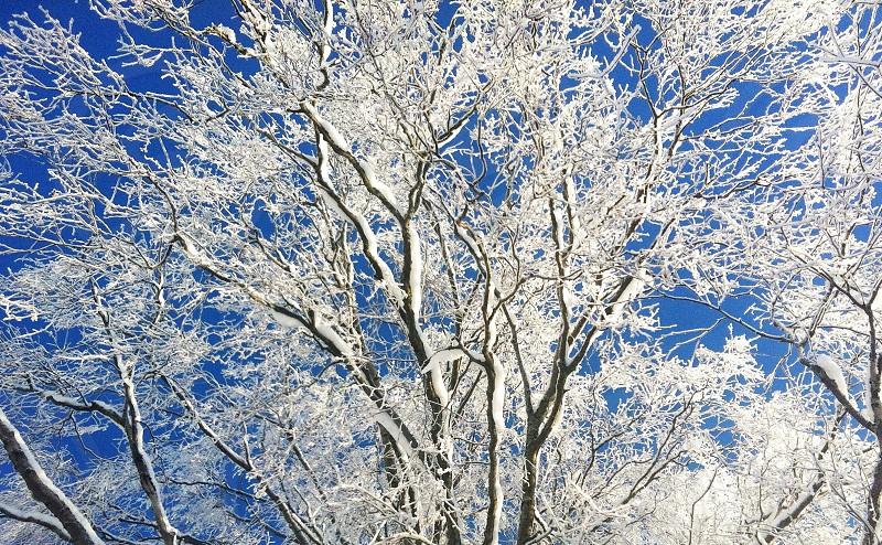 ice covered tree photo