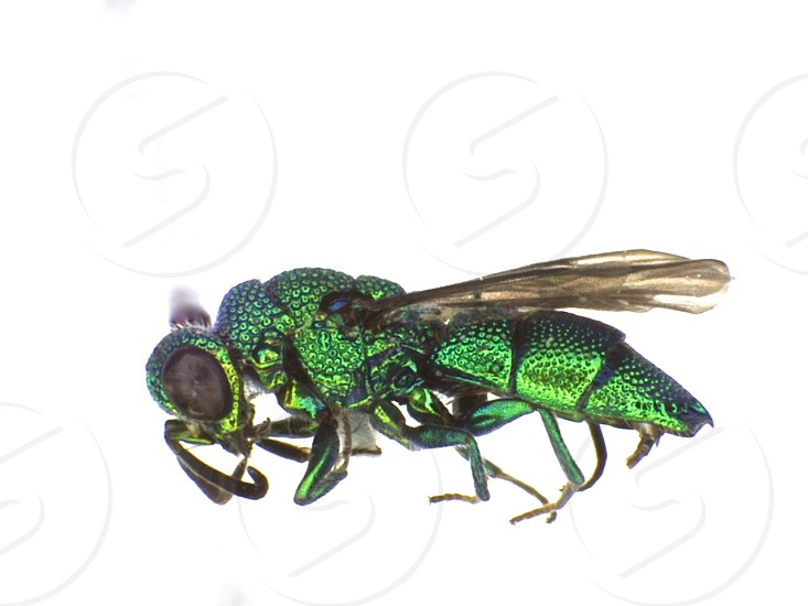 Chrysididae cuckoo wasp from Belize photo