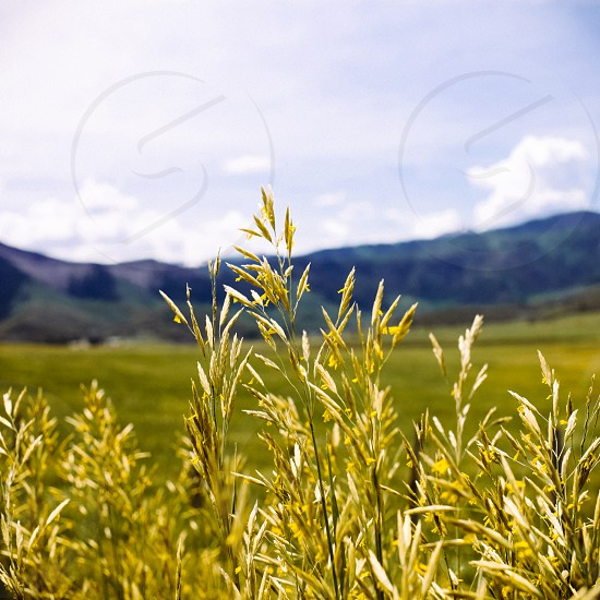 Wheat field in front of mountain. photo