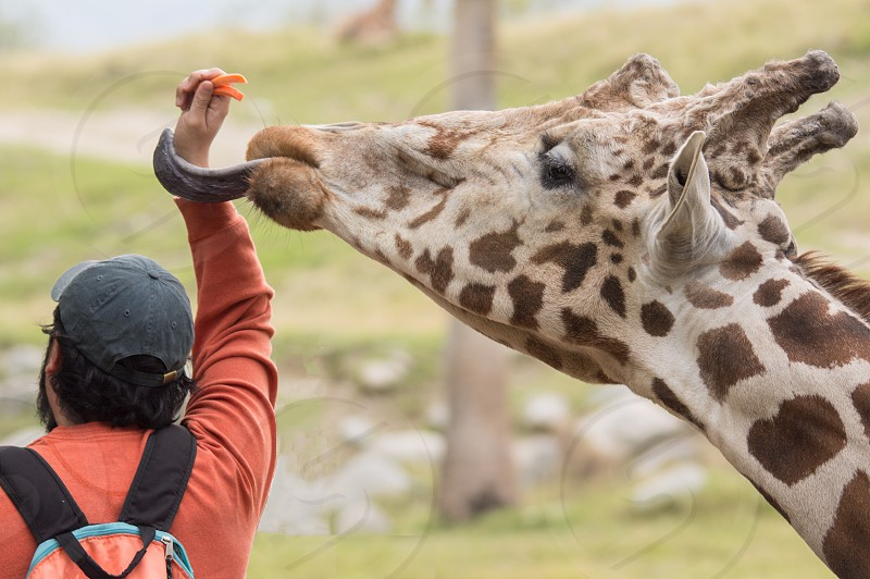 Giraffe tourist carrots tongue reaching feeding zoo tongue sticking out man animal behavior hungry photo