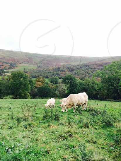 three white cattle eating grass near trees during daytime photo