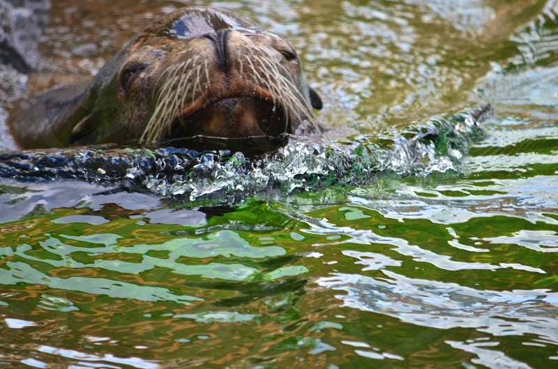 Sea-Lion photo