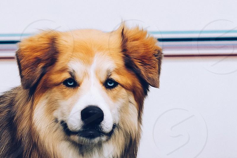 Blue-eyed canine  photo