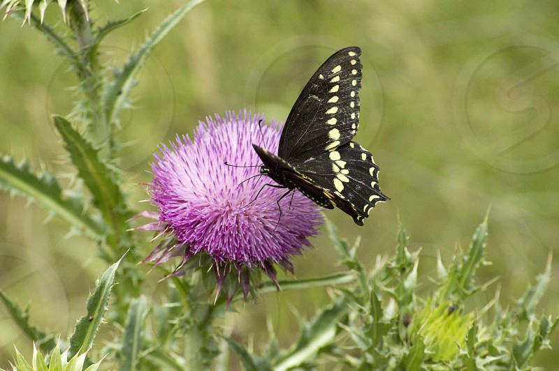 Beautiful Black and Yellow Tiger Swallowtail butterfly on purple Thistle Flower photo