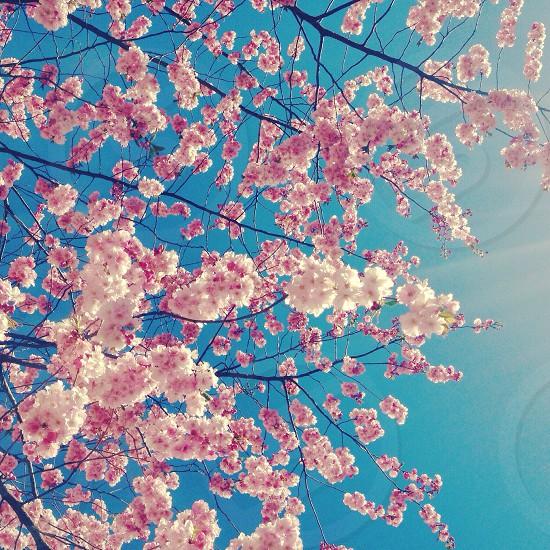 pink cherry blossom macro photography photo