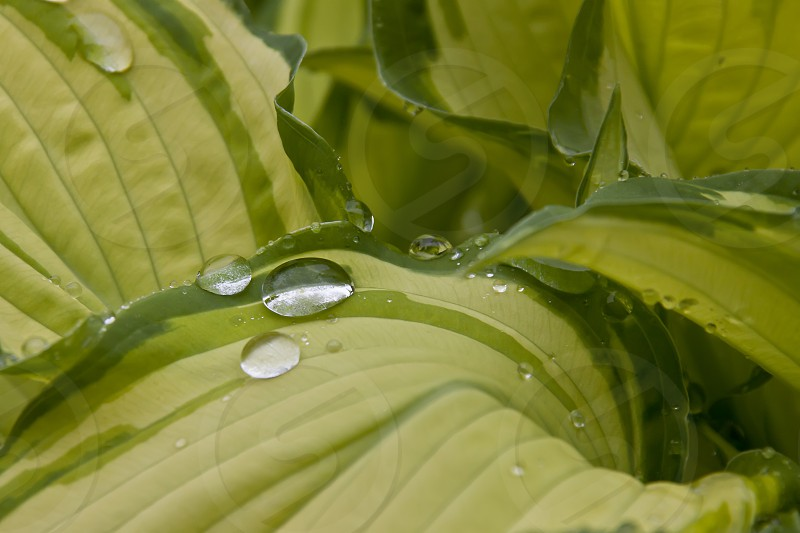 Raindrops on a Hosta leaf...taken in Coventry photo
