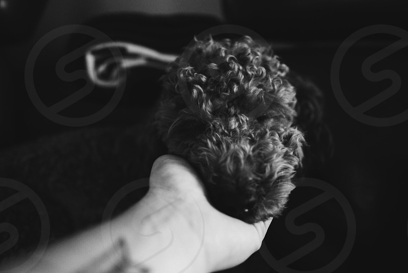 Poodle sleeping cute black and white adorable canine fur furry indoors sleep face  photo