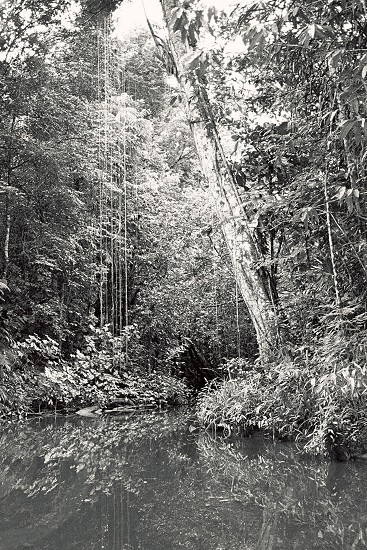 Jungle vines over the Amazon River near Belem Brazil. Shot with a 35mm. photo