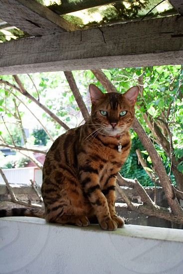 Bengal cat sitting in the backyard garden on a summer day photo