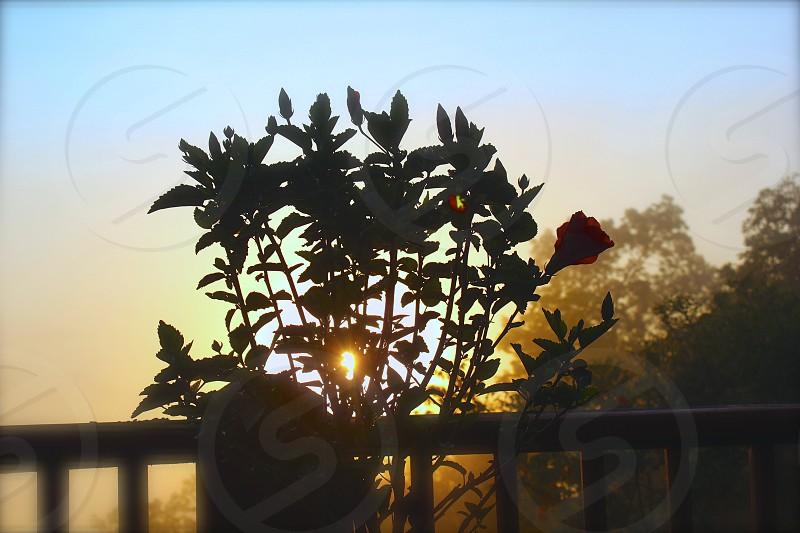 Hibiscus at sunrise photo