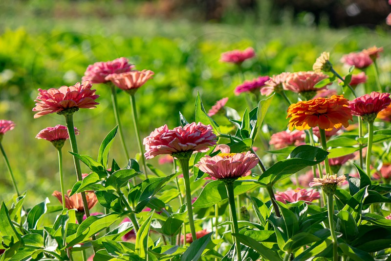Orange and pink flowers of zinia in the summer garden. Natural blooming background photo