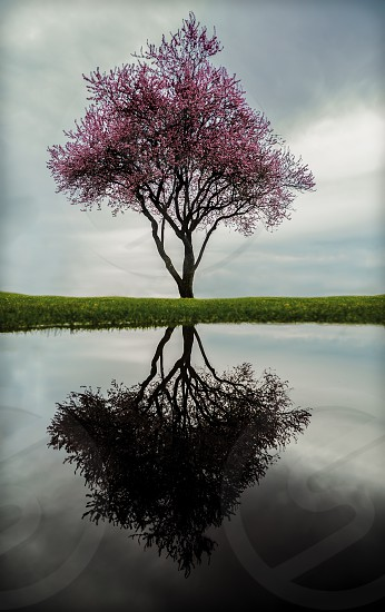 Spring reflections life death blossom photo