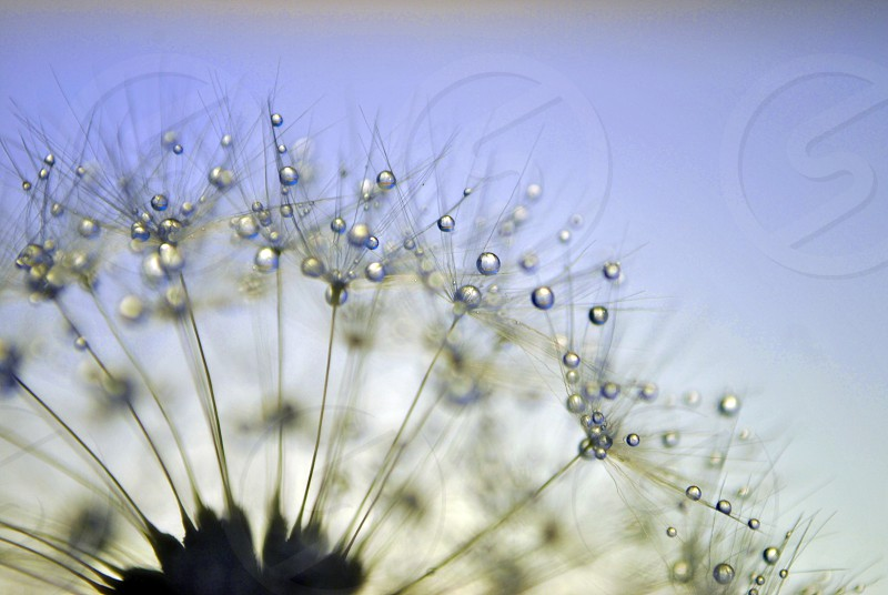white dandelions with water droplets during daytime photo