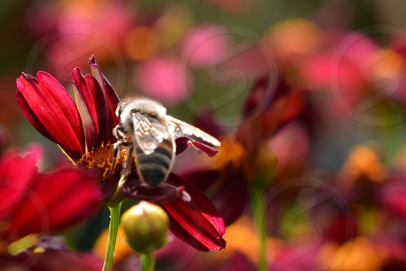 Bee on crimson colored daisy photo