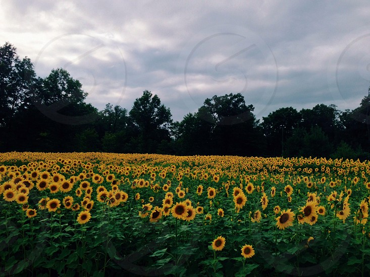 Field of sunflowers in the summer yellow green colors photo