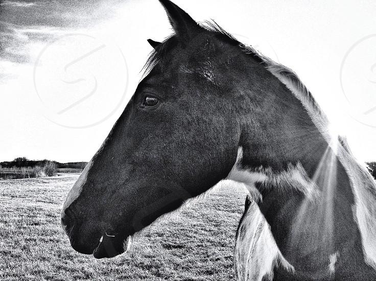 horse's black and white photo photo
