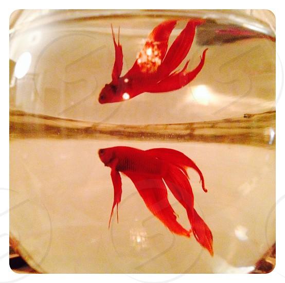 Betta fish photo