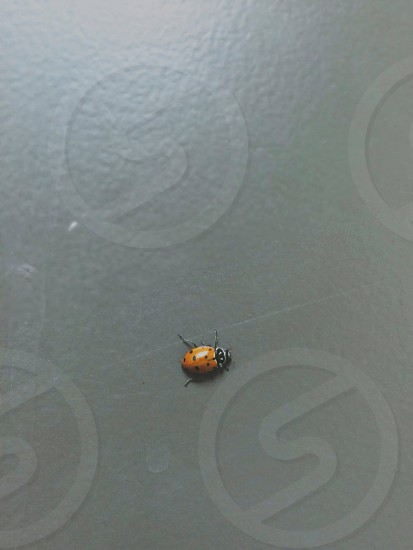 close up of a lady bug crawling on a grey wall photo