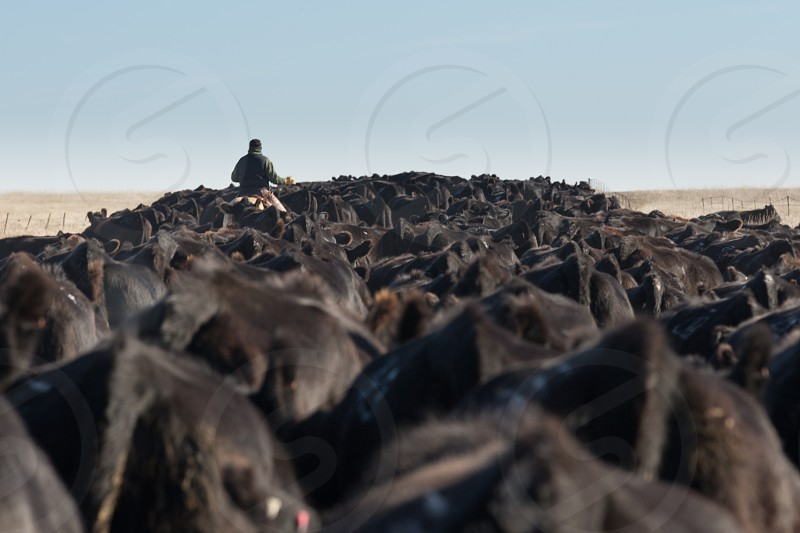 Moving the herd. photo