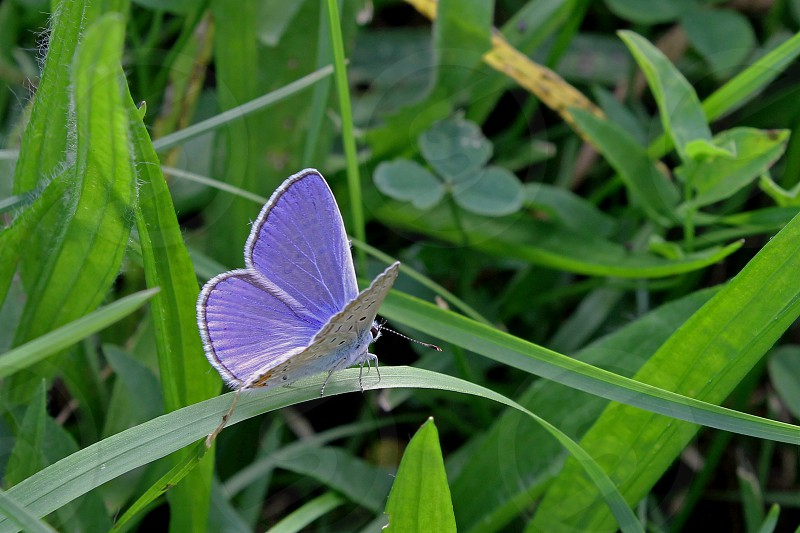 Silver studded blue butterfly in Vidin in Bulgaria. photo