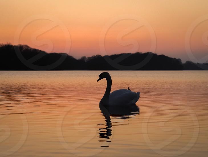 Reflection lake water sunset nature landscape Ireland Killarney bird swan photo