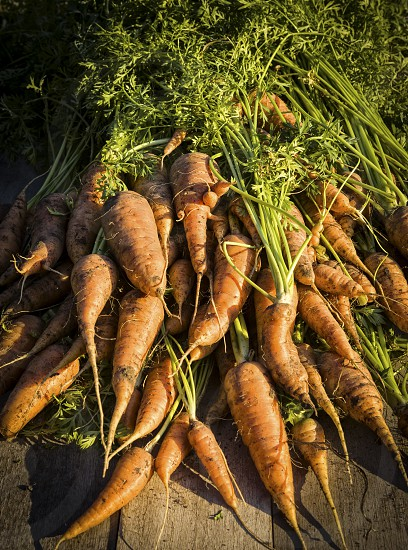Homegrown Carrots in Late Afternoon Light photo