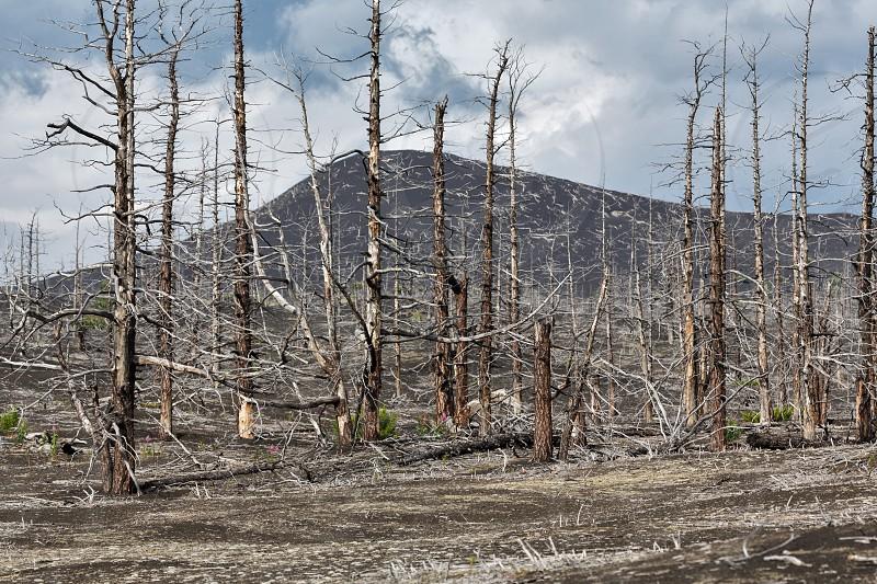 Lifeless desert landscape of Kamchatka Peninsula: Dead wood (Tolbachik Volcano lava field). Far East Russia Kamchatka. photo