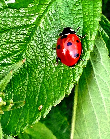 Macro LisAm Lady Bug Insect Red Animal Pretty Green Leaf Plant photo