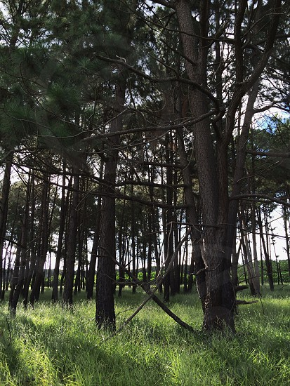 tall trees and green grass photo