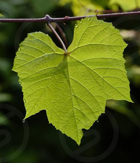 Backlit leaf. Green. Veins. Water droplets. photo