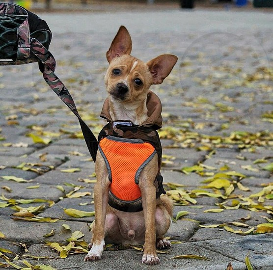 tan Chihuahua wearing harness during daytime photo
