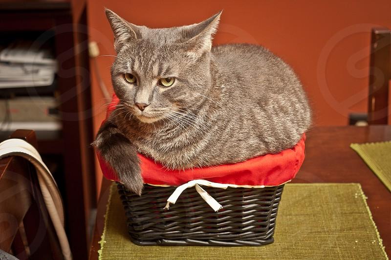 gray cat on black wicker tray photo