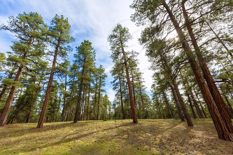 Pine tree forest in Grand Canyon Arizona USA photo