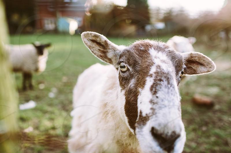 cheep farm goat animal field nature close up eye nose photo