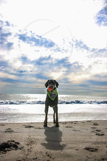 brown large size short coat dog with green bandana on neck near sea under gray and white cloudy sky during daytime photo