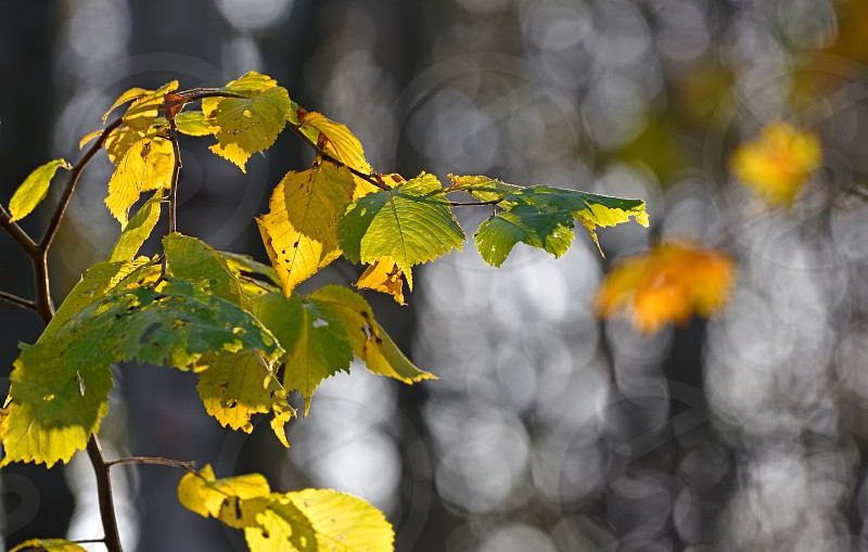Yellow and green backlit elm leaves in Autumn colours on a sunny late October morning in the forest in Helsinki Finland. photo