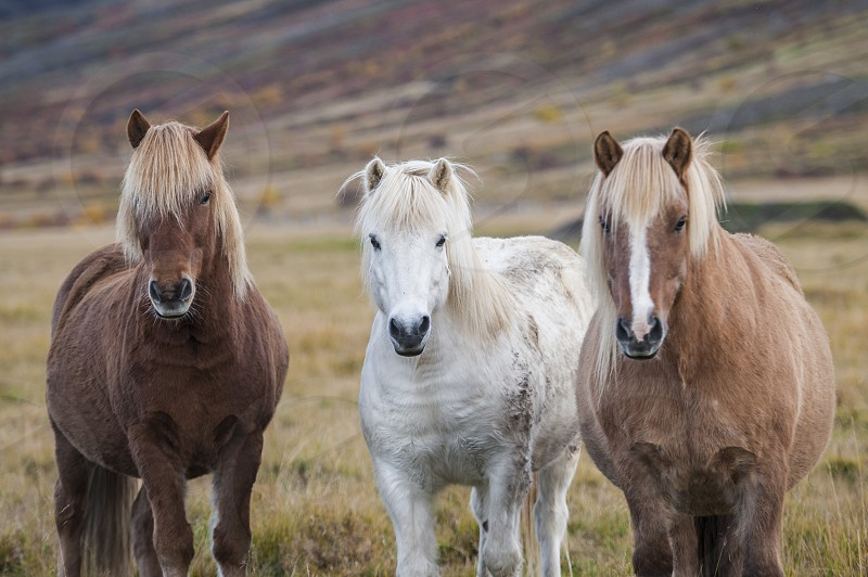 Portrait of three Icelandic horses standing in a field photo