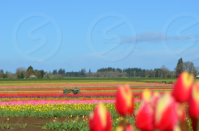 Tulip fields Oregon  photo