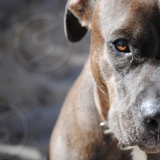 brown american pitbull terrier photo