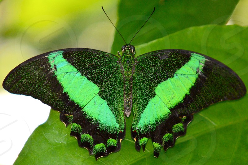 black green swallowtail butterfly on green leaf closeup photography during daytime photo