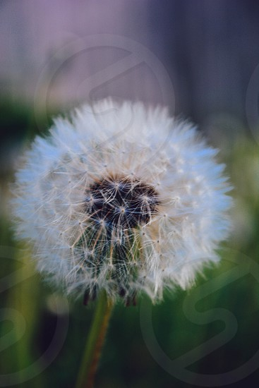 white dandelion single focus photo photo