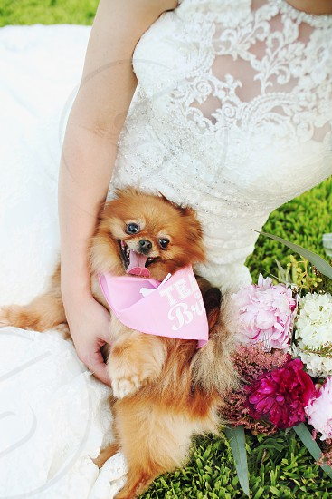 Bride holds fluffy dog with bandana. Dogs in clothes. Wedding day bride to be white dress bride and dog bride with puppy bride with dog flowers photo