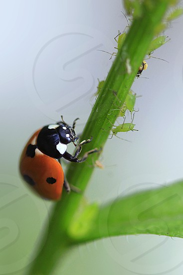 ladybug hunting on green plant photo