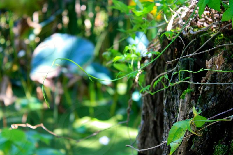 green vine on tree photo